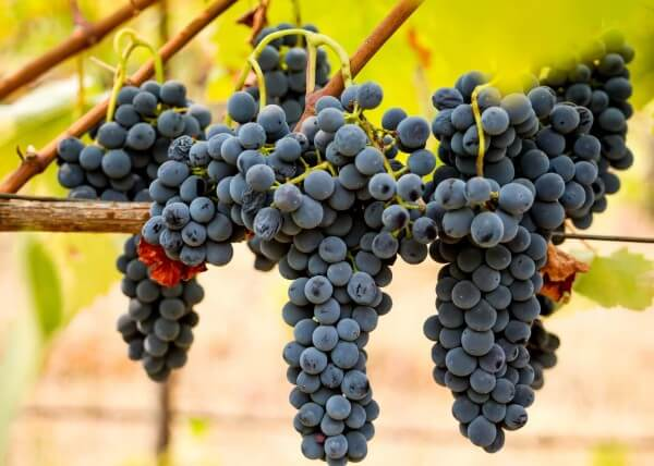 grapes-5583216_1920